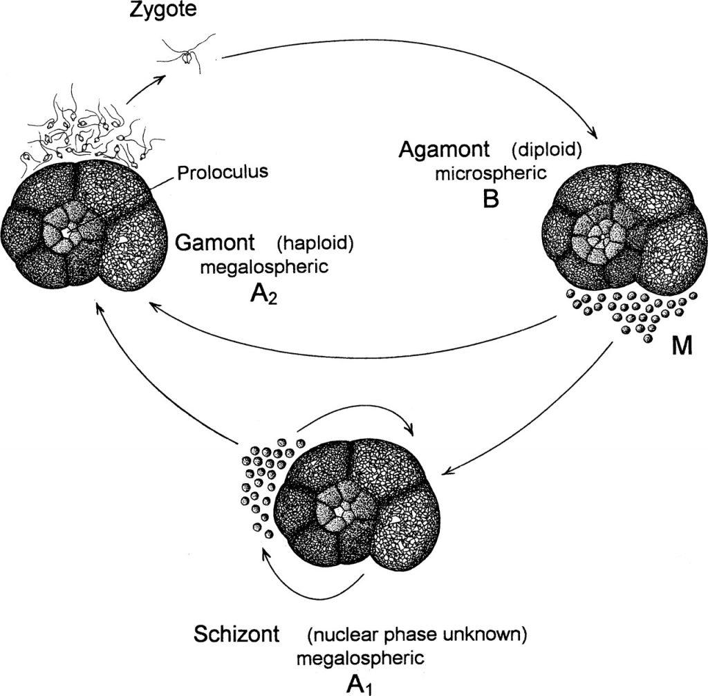 foraminiferlerde-dimorfizm